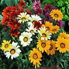 Outsidepride Gazania Kiss Mix Flower Seeds