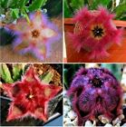 100pcs Colorful Cactus Bonsai Stapelia Pulchella Seeds