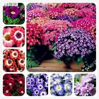 50 Pcs Mixed Color Cineraria Bonsai Chrysanthemum Flower Seeds Ground Cover Plan