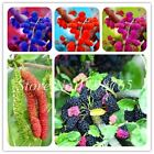 100 Pcs  Raspberry Mulberry Seeds Sweet Black Berry Super Big Miracle Mulberry F