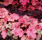 Heuchera *VIENNA*: Pink with Rose Veins!