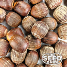 Внешний вид - Shumard Oak Acorns - 10 - 50 ACORNS - SAME DAY SHIPPING!