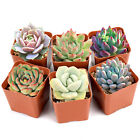 Assorted Rosettes Succulent Plants Mini Fully Rooted in Planter Pots with Soil