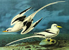 "Audubon - White-Tailed Tropic Bird -by John James Audubon -20""x26"" Art on Canvas"