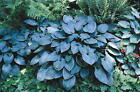 Hosta Halcyon good blue leaves strong growing garden plant.