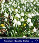 DAFFODILS  BULBS:  # Spring Snowflake - White Bells - Flower