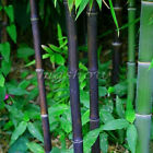 60pcs Black Bamboo Seeds Phyllostachys Pubescens Hardy Hedging Green Garden Yard