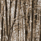 Forest Trees Fabric Available in 2 Colors Woods Nature Landsca 100% Ctn Benartex
