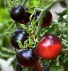 poison from apple seeds - Dark Tomato - INDIGO APPLE - 15 Vegetable Organic Seeds- From 2017