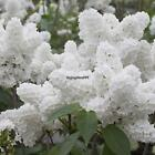 White Japanese Lilac Tree Seeds Clove Flower Seeds Bonsai Flower Seeds OO55