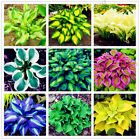 200pcs Rare Hosta Seeds Perennials Plantain beautiful Lily Flower White Lace