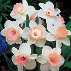 2Pcs Narcissus Flower Daffodil Seeds Bonsai Plants Double Petals Absorption