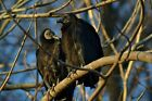 0011 - TWO BLACK VULTURE BIRDS  WILDLIFE PHOTOGRAPHY PRINT ED HOOK PHOTOS