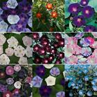 New Nice Adorable Flower Seeds Fragrant Blooms Morning Glory Seeds KFBY 01