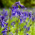 ENGLISH BLUEBELL BULBS Hyacinthoides Non Scripta Spring Flowering In The Green