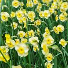 "Daffodil Bulbs ""Narcissi"" Dwarf Spring Flowering Narcissus ""Scented Variety"""