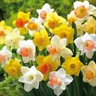 200 x DAFFODIL BULBS MIXED COLOURS FLOWERS PLANTS BORDER BED
