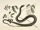 Black Snake by Mark Catesby 1754 vintage nature Photo print Canvas