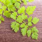 CURLED CHERVIL HERB SEEDS - NON-GMO HERBAL GARDEN SEEDS - MICRO HERB GREENS