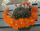 Rebutia species Various Specimens All Have Beautiful Flowers Cactus