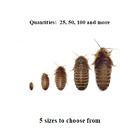 Dubia Roaches   Small  Medium  Large  Xl   Live Feeders  Ships Same Day Free