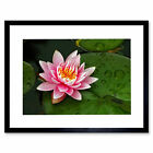 Lotus Flower Lilly Pad Pink Photo Framed Art Print Picture & Mount 12x16 Inch