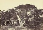 Largest Cedars Mount Lebanon Francis Frith English 1822 1898 1863 Art Poster/ P