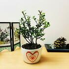 traditional forest bonsai tree @ pot chinese elm ginseng outdoor garden plant
