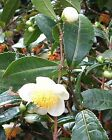 Camellia Sinensis - 5 - 20 - 50 Seeds - A Nice Cup Of Tea Plant !!!
