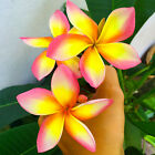 "CUTTING OF PLUMERIA HAVE ROOT"" Jindamanee ""  NEW RARE !!!"
