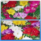 FREESIA BULBS MIXED COLOURS SWEET SCENTED IDEAL ROCKERY & POTS PERENNIAL FLOWERS