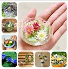 Hot-sale!!!Hydroponic flowers small water lily seeds mini lotus seeds 10 pcs