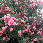 Nerium Oleander Seeds 200 TO 1600 -MIXED COLORS- Buy 2 get 1 FREE!