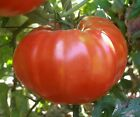 Giant Oxheart Tomato Seeds NON GMO Variety Sizes FREE SHIPPING