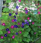 Morning Glory, Tall Mixed Wildflower Seeds, NON-GMO, FREE SHIPPING