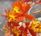 CRUCIFIX-ORCHID   (easy to grow)-WOW-free-shipping ,,,nice flowers