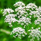 Anise Herb Seeds, Licorice Herb, NON-GMO, Heirloom, Variety Sizes, FREE SHIPPING