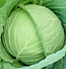 Cabbage Seeds, Copenhagen Market Early, NON-GMO, Variety Sizes, FREE SHIPPING