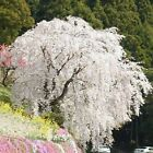 White Fountain Weeping Cherry Home Garden Dwarf Tree Beautiful Seeds New Item