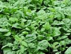 Bloomsdale Long Standing Spinach Seeds, NON-GMO, Variety Sizes, FREE SHIPPING