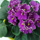 PROMO! 200 Seeds - Variety of Colors African Violet Seeds, Matthiola Incana Seed cheap