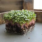 RADISH SPROUTING SEED - RED ARROW - HEIRLOOM, SPROUTS - NON-GMO, MICROGREENS