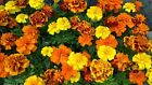 French Marigold Sparky Mix, Beautiful Colors, Garden Pest Deterrent, FREE SHIP