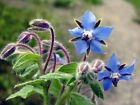 Borage Seeds, Borago Officinalis, NON-GMO, Variety of Sizes, FREE SHIPPING
