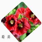 Double Hollyhock Seeds Garden Flower Seeds Perennial Plant 20Pcs easy to grow