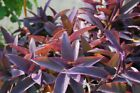 Tradescantia pallida Purple Heart Plant out/indoor Purple Made in USA
