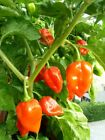 Habanero Pepper Seeds, SUPER HOT PEPPER!, NON-GMO, Variety Sizes, FREE SHIPPING
