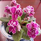 PROMO! 200 Seeds - Variety of Colors African Violet Seeds, Matthiola Incana Seed
