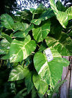 BUY 1 GET 1 FREE !! Cutting Giant Pothos philodendron tropicalhouse PLANTS cheap