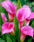 10 ZANTEDESCHIA PINK GIANT CALLA (ARUM) LILY SIZE 14/16 SUMMER SPECIAL OFFER!!!